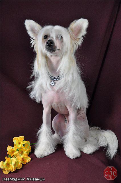ошейник для собаки из бисера Черный цветок.
